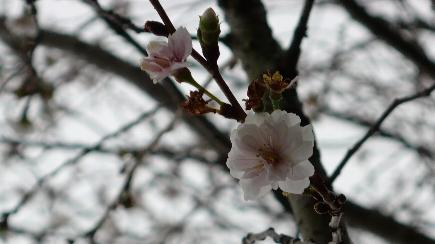 冬桜2006