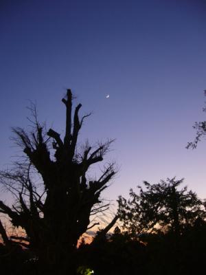 大銀杏と月